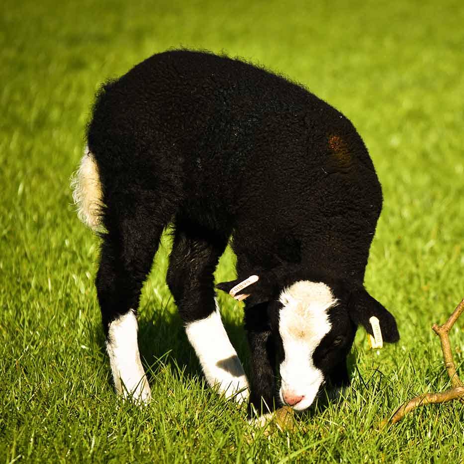 chov ovcí Zwartbles